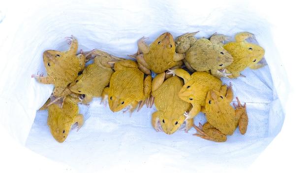 Złota żaba leży w białej torbie. kolorowe jaskrawo żółte zwierzę tropikalne. (hoplobatrachus rugulosus)