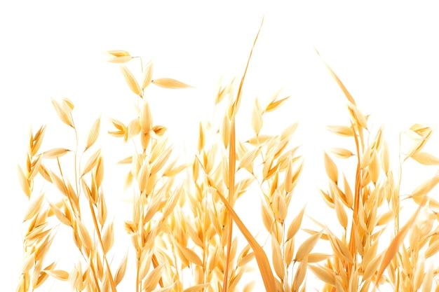 Złote dojrzałe kłosy roślin owsa na białym tle, odizolowane od tła
