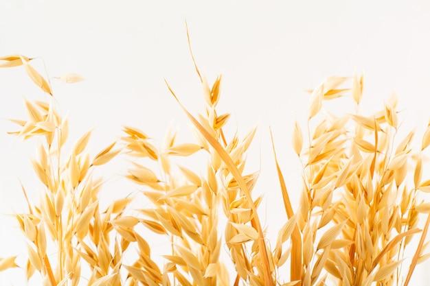 Złote kłosy dojrzałych roślin owsa na białym tle, samodzielnie