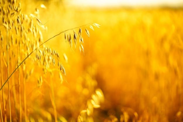 Złote kłosy owsa w lecie na polu.