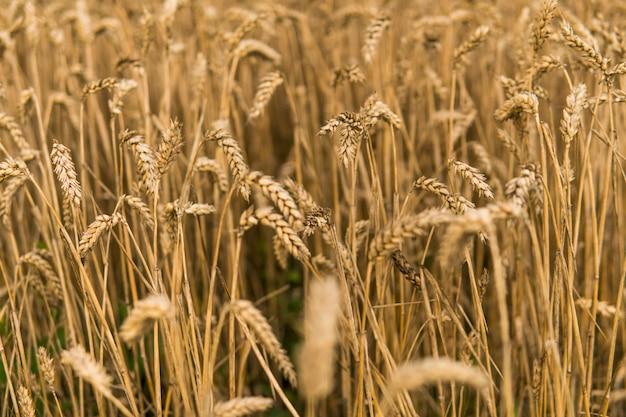 Złote kłosy pszenicy na polu przeciwko nieba. rolnictwo. uprawa pszenicy. dojrzewanie kłosów pszenicy. rolnictwo. naturalny produkt.