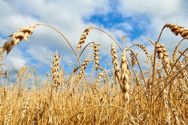 Złote kłosy pszenicy, pole pszenicy z pochmurnego nieba.