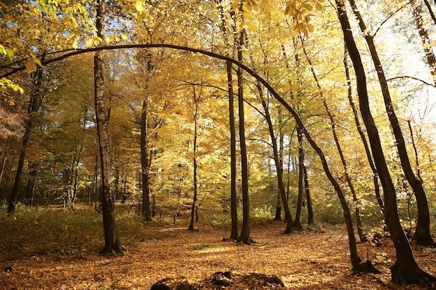Złote liście drzew w jesiennym lesie podkreślone przez późne słońce