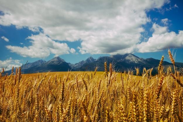 Złote pole dojrzałej pszenicy z nieskończonym zachmurzonym niebem i potężnymi tatrami
