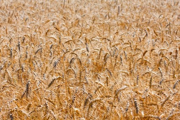 Złote pole dojrzałej pszenicy
