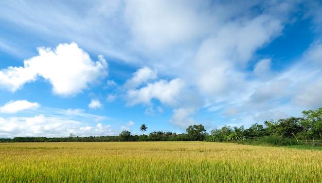 Złote pole dojrzewających korpusów ryżowych na wsi