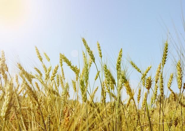 Złote pole pszenicy i dojrzewające uszy na tle błękitnego nieba w słoneczny letni dzień, blask słońca i światło