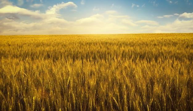 Złote pole pszenicy o zachodzie słońca, wiejskie krajobrazy