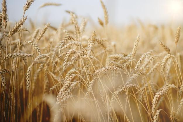 Złote pole pszenicy. piękna przyroda zachód słońca krajobraz. ściana dojrzewających kłosów pola pszenicy łąkowej. koncepcja wielkich zbiorów i produktywnego przemysłu nasiennego.