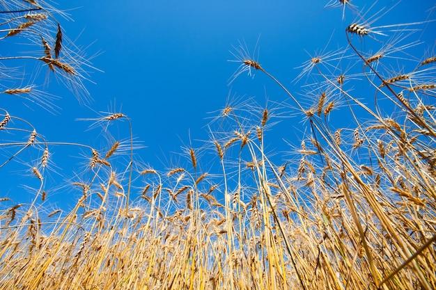 Złote pole pszenicy