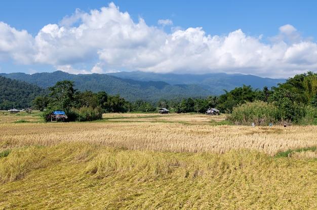 Złote pole ryżowe w czasie żniw w dolinie.