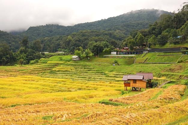 Złote pole ryżowe w wiosce mae klang luang w chiang mai w tajlandii.