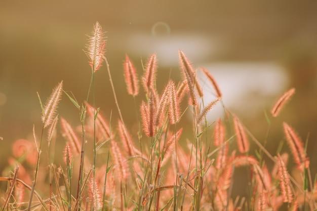 Złote pole trawy