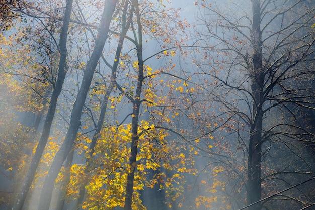 Złote promienie słońca przenikają przez drzewa w mglisty jesienny poranek.