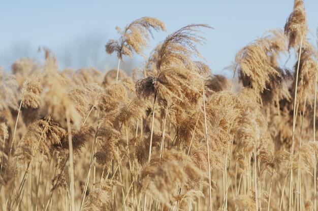 Złote suche trzciny w słoneczny dzień