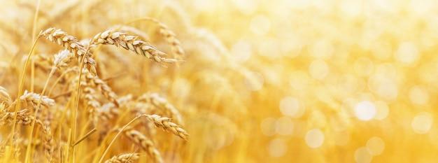 Złote tło z kłosy pszenicy i wolne miejsce na tekst. panorama