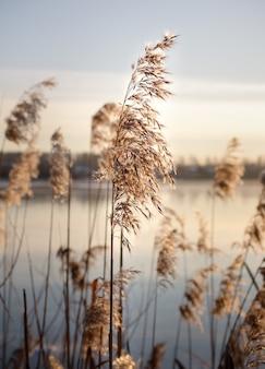 Złote trzciny na jeziorze kołyszą się na wietrze na tle błękitnego nieba.