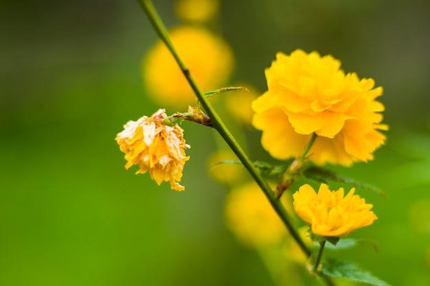 Złote żółte główki kwiatowe, zbliżenie nagietka, kolor żółty