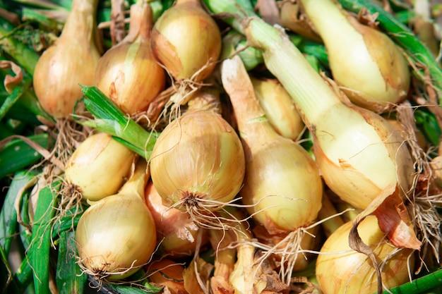 Złotej żarówki cebuli zakończenie. produkty organiczne. świeżo zebrane z ziemi