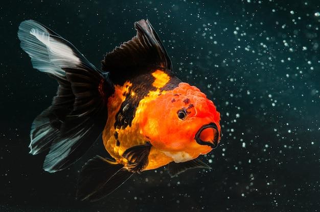 Złoto ryba na czarnym słońcu