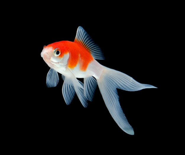 Złoto ryba odizolowywająca na czerni