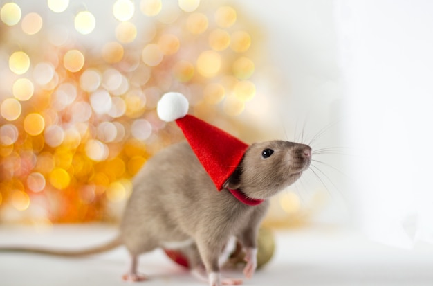 Złotobrązowy śliczny mały szczur w noworocznej czapce na miękkim świetle