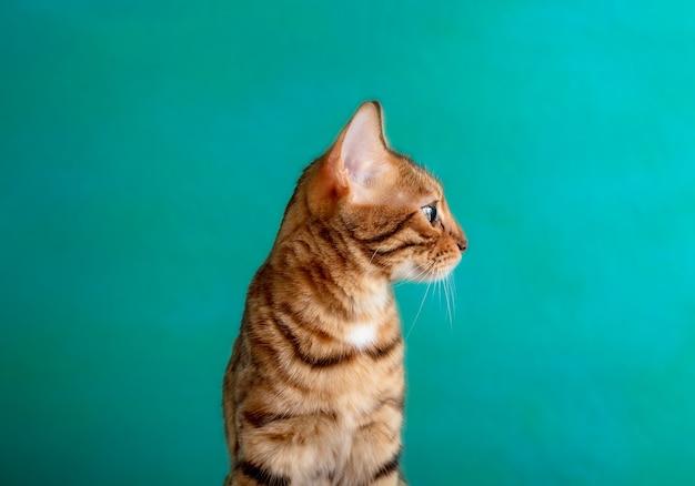 Złoty bengalski, patrząc z boku, na białym tle na zielonej powierzchni w studio