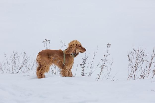 Złoty brytyjski cocker spaniel pies stojący w śniegu