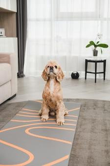 Złoty cocker spaniel, zadbany pies z błyszczącą fryzurą siedzi na dywanie w salonie, domowy portret ukochanego zwierzaka