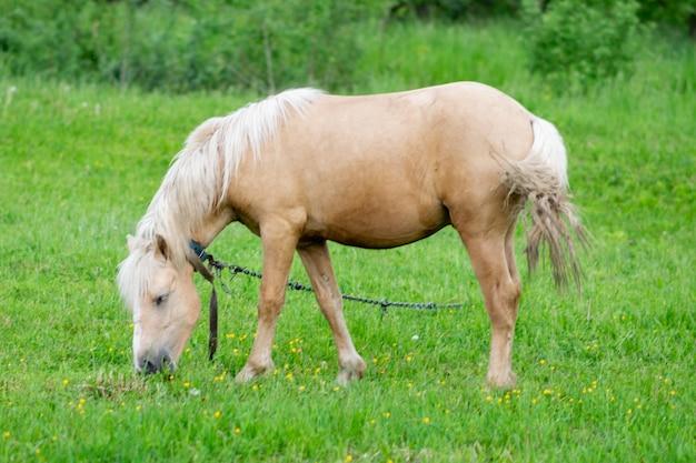 Złoty koń pasie się w polu na zielonej trawie. zdjęcie wysokiej jakości