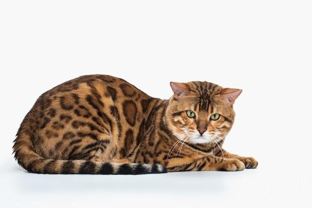 Złoty kot bengalski na białej przestrzeni