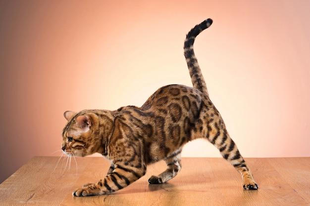 Złoty kot bengalski na brązowo