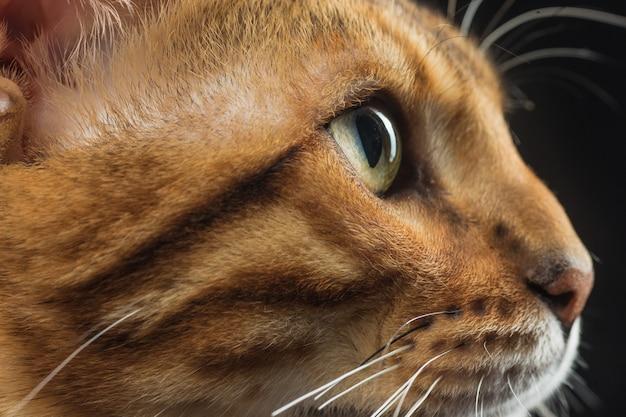 Złoty kot bengalski na czarnej ścianie
