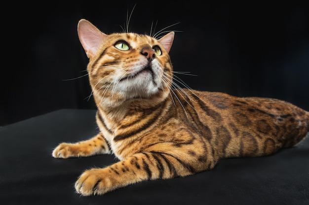 Złoty kot bengalski na czarnym tle