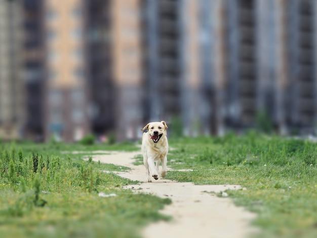 Złoty labrador chodzi w wiosna parku, naturalne światło, w chmurnym dniu