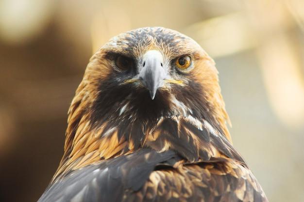 Złoty orzeł siedzi na gałęzi. portret złotego orła. ptak myśliwski