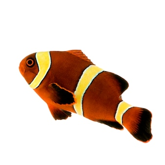 Złoty pasek maroon clownfish - premnas biaculeatus na białym tle