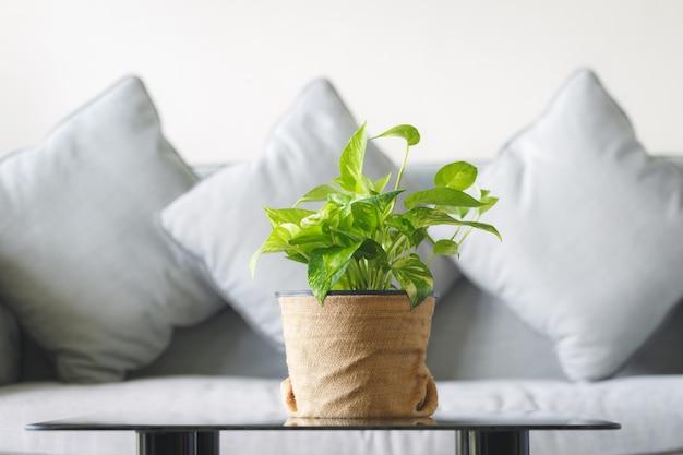 Złoty pothos z sofą koncepcji domu i ogrodu