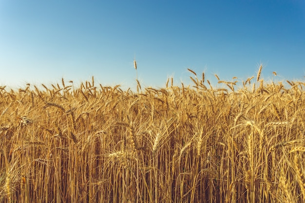 Złoty pszeniczny pole i słoneczny dzień