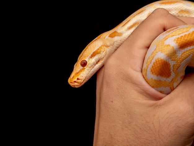Złoty python, python siatkowy (python reticulatus).