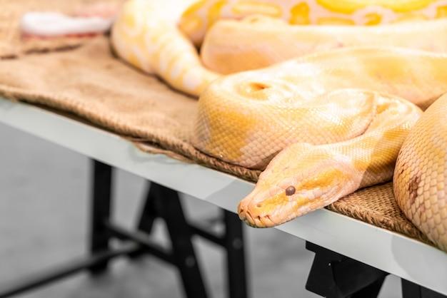 Złoty python w zoo
