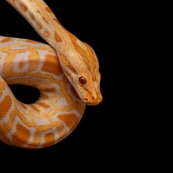 Złoty pyton, pyton siatkowy (python reticulatus).