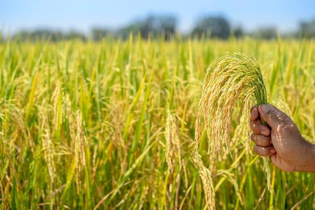 Złoty ryż, piękny w rękach rolników.