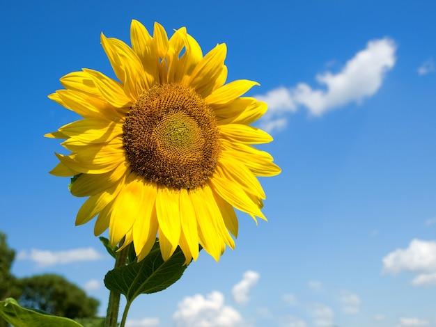 Złoty słonecznik na białym tle na tle błękitnego nieba i chmur