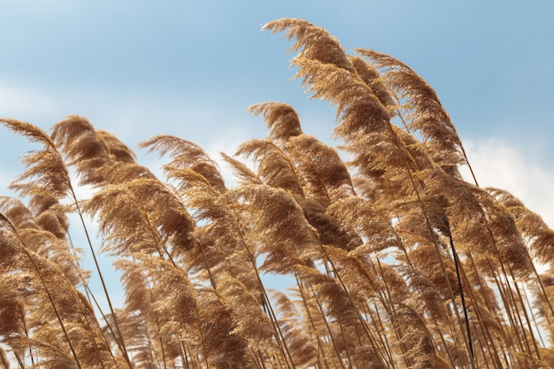 Złoty żółty zbliżenie trawy pampasów