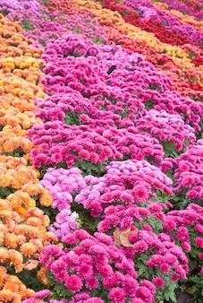 Zły Jesienny Kwiat Chryzantemy Różnobarwny (tło W Paski) Premium Zdjęcia