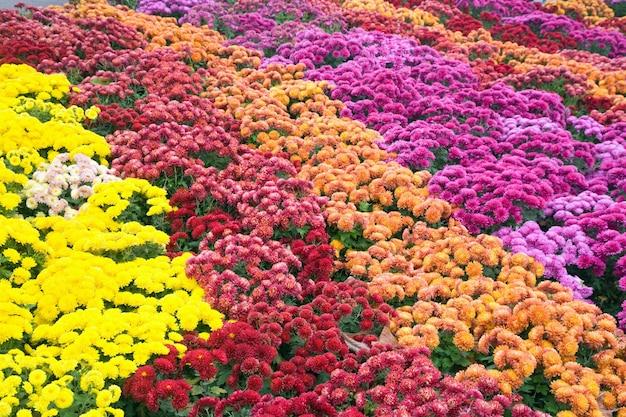 Zły jesienny kwiat chryzantemy różnobarwny (tło w paski)