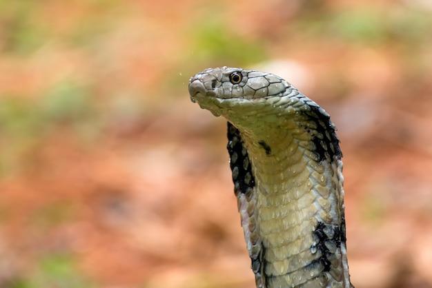 Zły kobra królewska w pozycji ataku