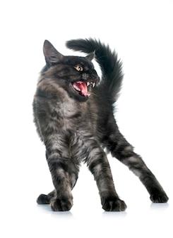 Zły kot maine coon