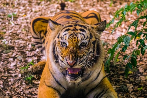 Zły tygrys sumatrzański tygrys sumatrzański